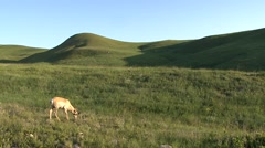 Pronghorn Antelope Lone Feeding Summer - stock footage