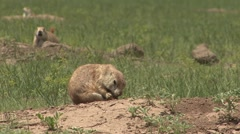 Black-tailed Prairie Dog Adult Several Grooming Summer Scratching Itching - stock footage