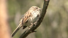 Song Sparrow Adult Lone Breeding Summer Singing Stock Footage