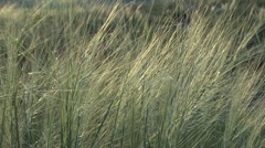 Grasses Wind Cave National Park Dawn Zoom Out Stock Footage