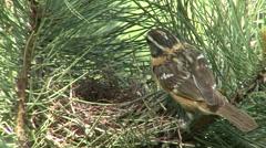 Black-headed Grosbeak Female Adult Chicks Family Nesting Summer - stock footage