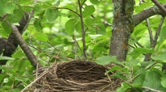 Robin Adult Chicks Family Nesting Summer Feeding Nest - stock footage