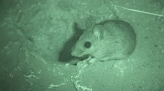 Deer Mouse Lone Night Infrared Stock Footage