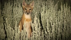 Swift Fox Young Lone Summer Night Spotlight Stock Footage