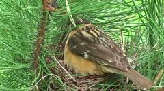 Black-headed Grosbeak Male Female Adult Chicks Family Nesting Summer - stock footage