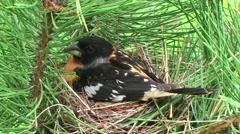 Black-headed Grosbeak Male Adult Chicks Family Nesting Summer - stock footage
