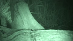 Deer Mouse Pair Feeding Summer Night Infrared Stock Footage