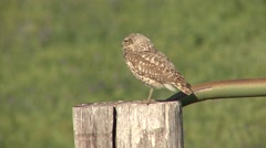 Burrowing Owl Adult Lone Resting Summer Fencepost Stock Footage