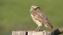 Burrowing Owl Adult Lone Resting Summer Stock Footage