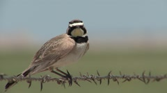 Horned Lark Adult Lone Resting Summer Barbed-wire Stock Footage