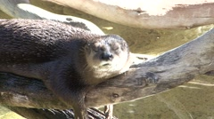 Spotted Necked Otter Lone Resting Winter Stock Footage