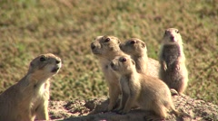 Black-tailed Prairie Dog Adult Young Family Alarmed Summer - stock footage