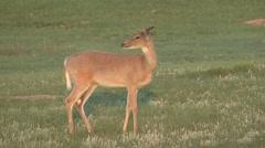 White-tailed Deer Buck Walking Summer Dawn Stock Footage