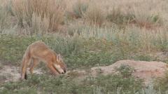 Swift Fox Young Lone Feeding Summer Dawn Stock Footage