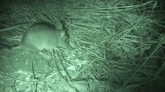 Deer Mouse Several Feeding Summer Night Infrared Stock Footage
