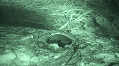 Deer Mouse Lone Feeding Summer Night Infrared Stock Footage