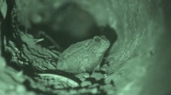 Toad Lone Summer Night Burrow Tunnel Underground Infrared - stock footage
