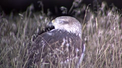 Ferruginous Hawk Summer Night Closeup Spotlight Stock Footage