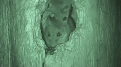 Deer Mouse Adult Young Pair Summer Night Infrared Stock Footage