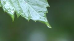 Trees & Shrubs Black Hills Summer Rain Raindrop Water Closeup - stock footage
