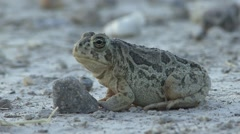 Toad Lone Summer Dusk Stock Footage