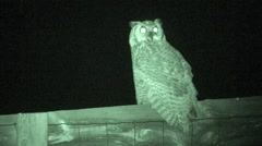Great Horned Owl Lone Resting Summer Night Infrared Stock Footage