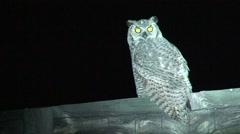 Great Horned Owl Lone Resting Summer Night Spotlight Stock Footage