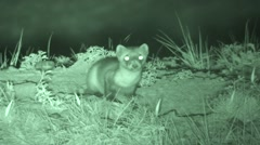 Black-footed Ferret Lone Standing Summer Night Infrared Stock Footage