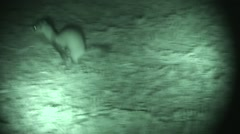Black-footed Ferret Lone Running Summer Night Infrared Stock Footage