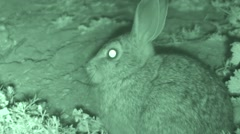 Cottontail Rabbit Lone Resting Summer Night Infrared Stock Footage