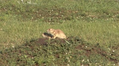 Black-tailed Prairie Dog Pair Playing Summer Wrestling Stock Footage