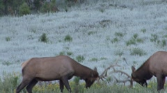 Elk Bull Pair Fighting Fall Sparring Stock Footage