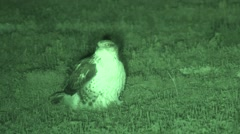 Ferruginous Hawk Lone Resting Summer Night Infrared Stock Footage