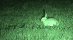 White-tailed Jackrabbit Lone Alarmed Summer Night Infrared Stock Footage