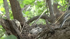 Mourning Dove Adult Chicks Family Nesting Summer Stock Footage