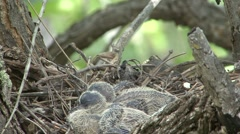 Mourning Dove Adult Chicks Family Nesting Summer Closeup Stock Footage