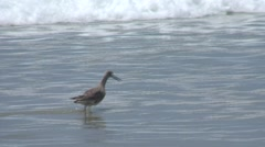 Willet Lone Feeding Spring Ocean Surf Stock Footage