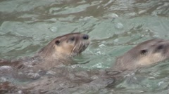 River Otter Pair Swimming Stock Footage