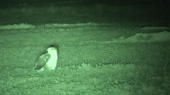 Ferruginous Hawk Alarmed Summer Night Infrared Stock Footage