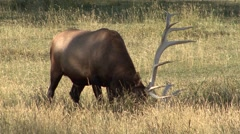 Elk Bull Adult Lone Breeding Fall Pawing Rutting Antlers Stock Footage