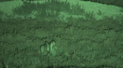 White-tailed Jackrabbit Lone Alarmed Summer Night Infrared - stock footage