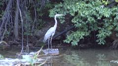 Great Blue Heron Lone Fall Dawn Stock Footage