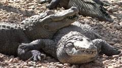 Alligator Adult Pair Resting Stock Footage