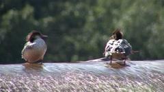 Common Merganser Hen Summer Stock Footage