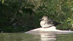 Common Merganser Hen Summer - stock footage