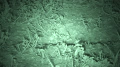 Black-footed Ferret Lone Summer Night Infrared Stock Footage