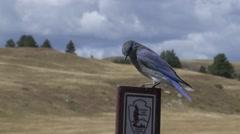 Mountain Bluebird Male Lone Summer Stock Footage