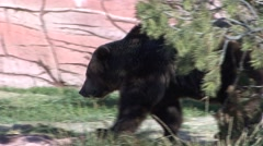 Grizzly Bear Lone Walking Fall - stock footage