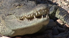 Alligator Adult Lone Summer Closeup Stock Footage