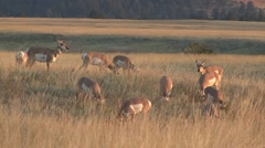 Pronghorn Antelope Buck Doe Adult Young Herd Feeding Fall Stock Footage